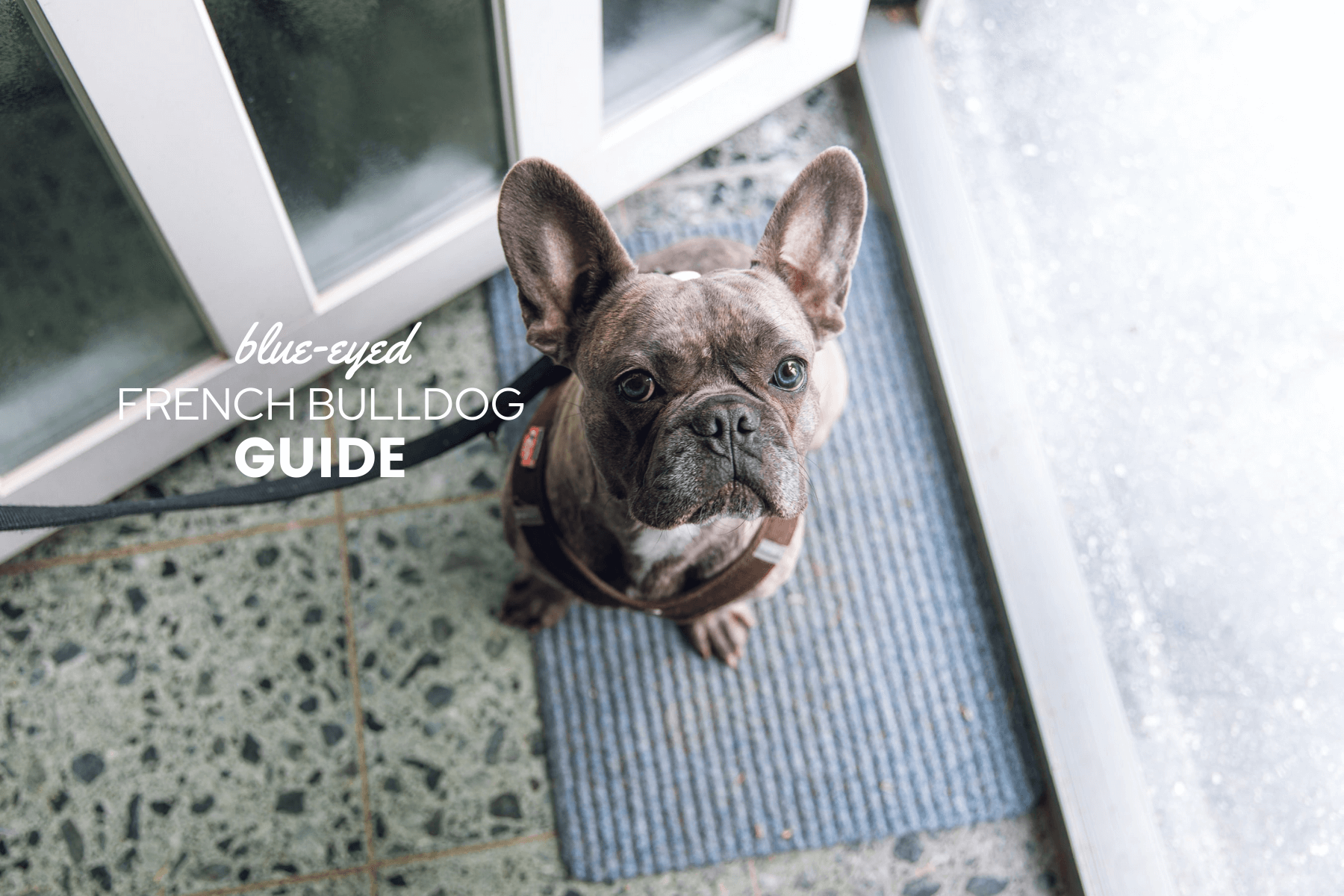 French Bulldogs With Blue Eyes Risks Health Eye Color Change Canine Bible